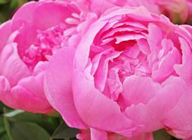 一组鲜艳的牡丹花高清图片欣赏