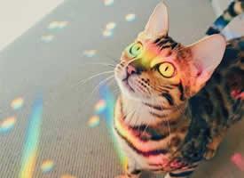 眼睛炯炯有神的彩虹猫猫图片欣赏