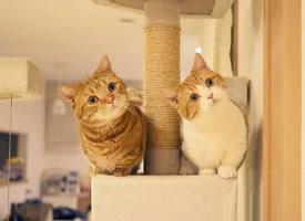 超可爱的猫咪兄妹chataro和kinako图片