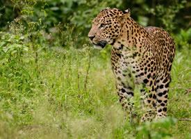 一组霸气的野生金钱豹图片欣赏