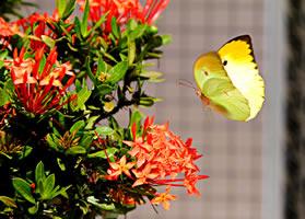 一组美丽好看标黄色胡蝶图片观赏