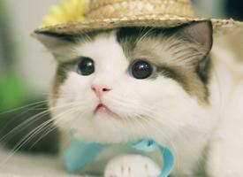 铲屎官最爱的戴帽子猫咪桌面壁纸