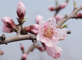 娇艳美丽粉嘟嘟的桃花朵朵开图片