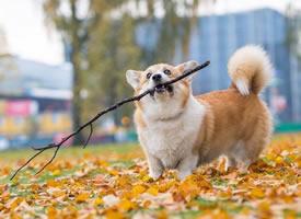 芬兰的小柯基Foxy,拥有一条毛茸茸的大尾巴