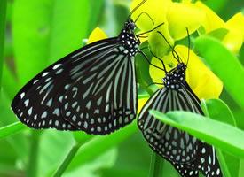 一组简略单纯好看标黑胡蝶图片观赏