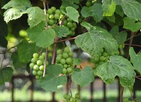 青青的未成熟的葡萄图片欣赏