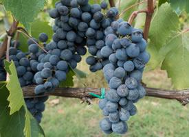 一串串诱人的丰收的葡萄图片
