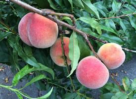 一组特别新鲜的水蜜桃图片欣赏