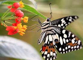 黑色胡蝶微距摄影图片观赏