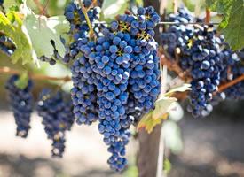 一组紫的发黑挂在树上新鲜葡萄图片