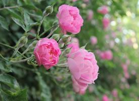 一组墙边上开满了粉色蔷薇图片