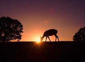 一组黄昏下唯美的麋鹿图片欣赏