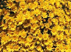 一組黃色花卉和黃色墻面的壁紙圖片