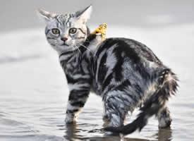 行走在沙岸边上的猫,好霸气的模样