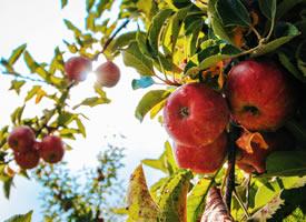 红红的诱人的苹果图片欣赏