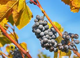 秋天到了,葡萄熟了,就像一串串美麗的紫寶石