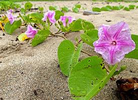 牽牛花長著心形的葉子 開著喇叭形的花