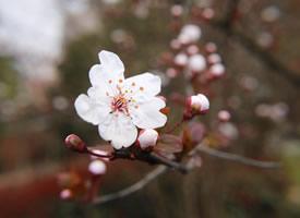 一組清新唯美的白色櫻花圖片欣賞