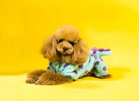 小巧心爱的泰迪狗狗,满脸呆萌的摄影图片