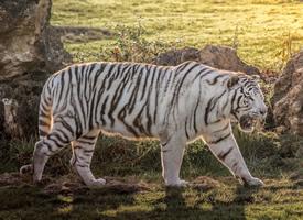 白色顺滑的皮毛像是被水洗过一般充满光泽的白虎