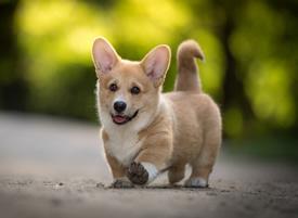 一组可爱威尔士柯基犬图片欣赏