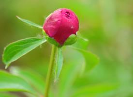 一组含苞待放的芍药花花蕾图片欣赏