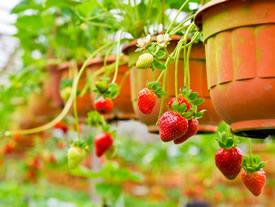 草莓园等待采摘的超新鲜草莓图片