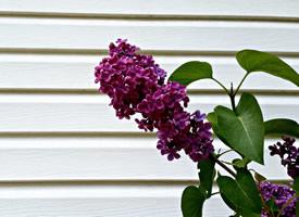 一组紫色浓郁的丁香花图片欣赏