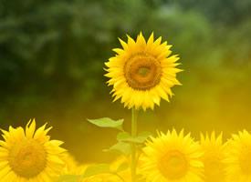 看着就有暖暖正能量的花朵-向日葵