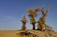 新疆塔里木沙漠公路旁的胡杨树图片_8张