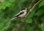 銀喉長尾山雀鳥類圖片_10張
