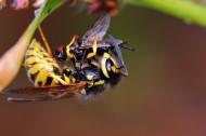 正在捕食的黄蜂图片_5张