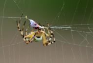 奇特的横纹金蛛昆虫图片_6张