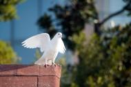可爱的白鸽图片_12张
