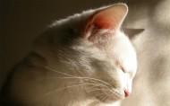 白色猫咪图片_24张