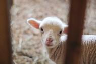 白色的羊圖片_11張