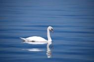 優雅的白天鵝圖片_10張