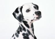 斑點狗圖片_19張