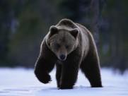 威猛的棕熊图片_18张
