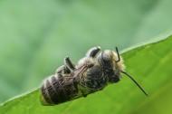 蜜蜂图片_7张