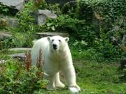 强壮的北极熊图片_12张