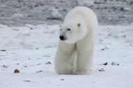 北極熊高清圖片_15張