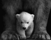 笨拙的北極熊圖片_10張