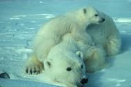 可愛的北極熊圖片_15張