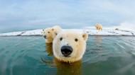 憨態可掬的北極熊圖片_14張