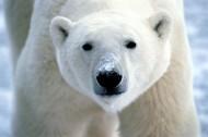 北極熊圖片_20張