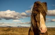 纯洁血统的冰岛马图片_15张