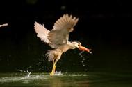 捕食中的夜鹭鸟类图片_13张