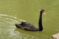 優雅的黑天鵝圖片_9張