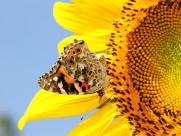 追逐向日葵的蝴蝶图片_20张
